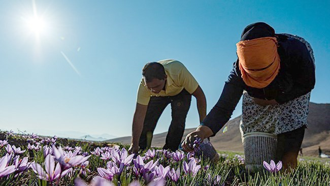 The price of the Iranian saffron has stumbled to historical lows of  $400-500 per kilogram as the new coronavirus pandemic hits major customers in Europe.